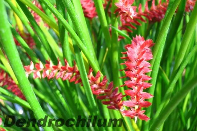 デンドロキラムウェンゼリーの育て方と種類は?香りや原種についても