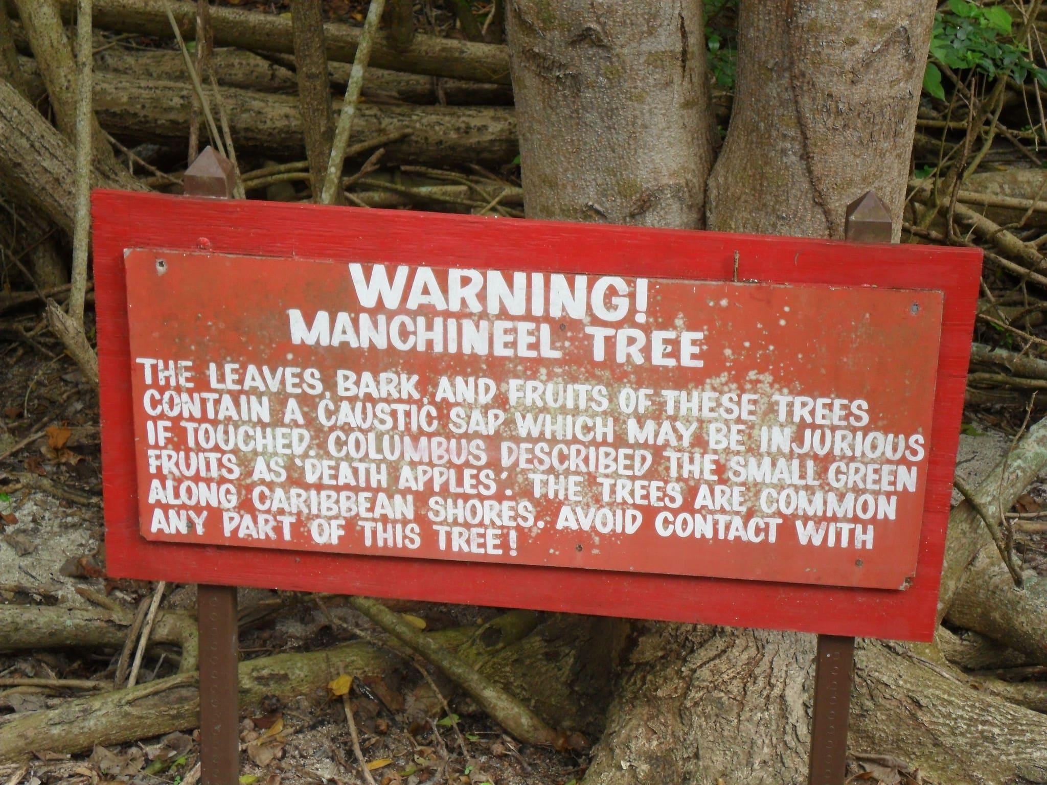 マンチニールの木の毒性は強い?日本には生息してるの?