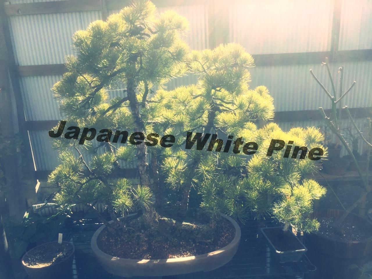 五葉松盆栽の植え替え時期はいつ?土の選び方や育て方と肥料についても