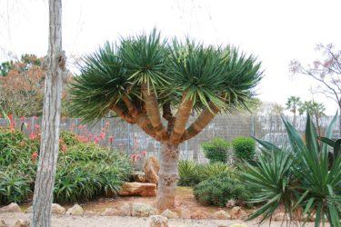竜血樹ドラセナドラコは挿し木できるの?育て方や耐寒性についても