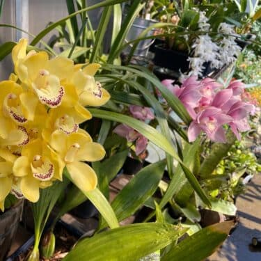 シンビジウムの育て方と花後の管理方法!花芽と葉芽の見分け方や植え替えについても