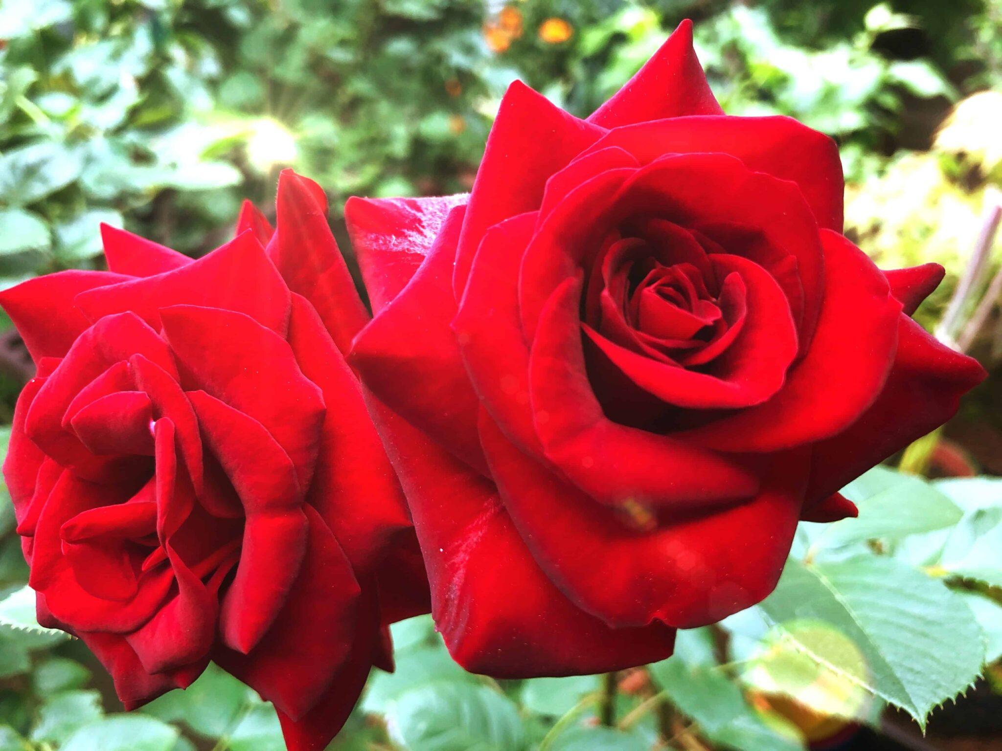 バラの花色が薄いのはなぜ?5月の手入れ作業や5枚葉と花後の剪定ついても