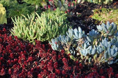 セダムと多肉植物の違いは?育て方と水やりや増やし方についても