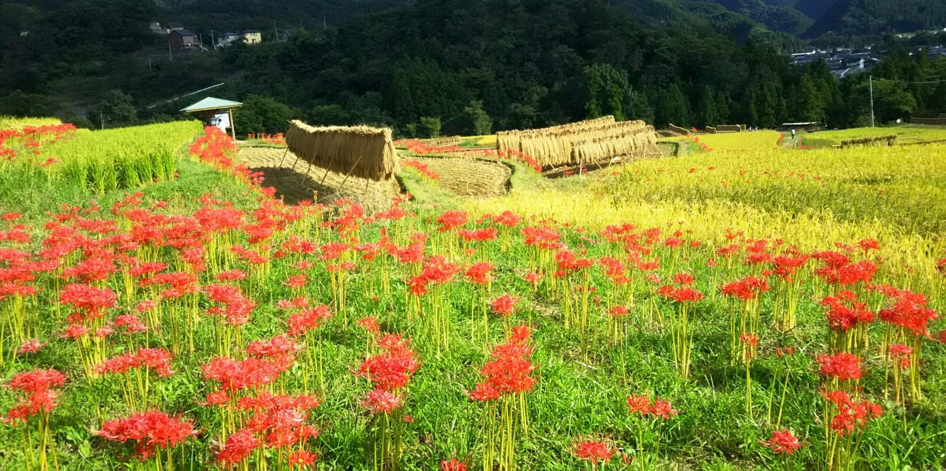 彼岸花が田んぼに多い理由はなぜ?毒性やなぜ彼岸に咲くのかについても