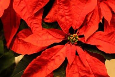 ポインセチアの毒性は危険なの?冬の育て方やクリスマスに飾る由来についても