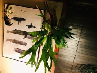 ビカクシダの葉がしわしわになる原因は?育て方と販売店や値段についても