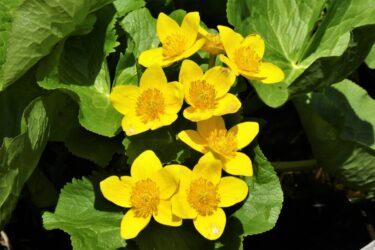 リュウキンカとヒメリュウキンカの違いは?似た花や花言葉についても