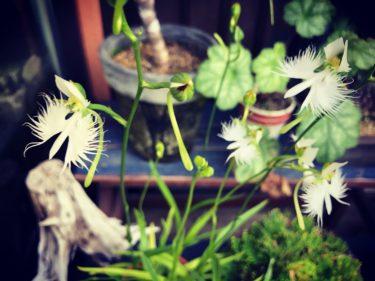 サギソウの育て方や冬越しはどうする?植え替え方法についても