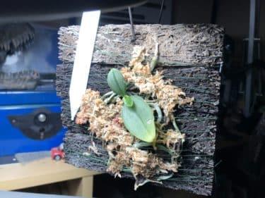 胡蝶蘭の着生方法は難しい?育て方や水やりは初心者にも簡単?
