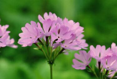 サクラソウの育て方と植え替え方法は?花が終わったら葉が枯れる?