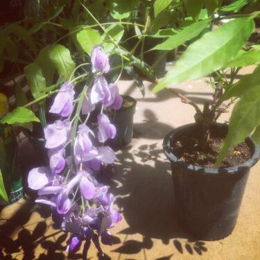 藤盆栽の育て方や植え替え方法は?咲かない原因は剪定?