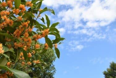 金木犀の花が咲かないのはなぜ?剪定時期や小さくする方法についても