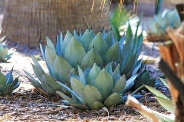 アガベの植え替えと最初の水やりは?育て方や鉢の大きさについても