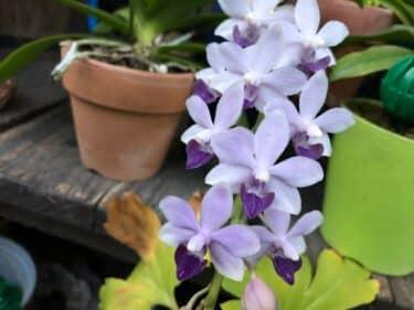 胡蝶蘭の植え替え方法と時期はいつ?用土や鉢の選び方についても